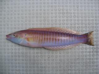 シロタスキベラ